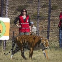 ARRIVAL & RELEASE BIG CATS 2012 September