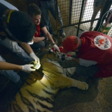 BIG CATS TRANSFER ONESTI TO SOUTH AFRICA