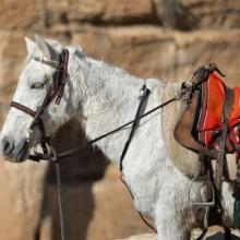 Petra Horses 2015
