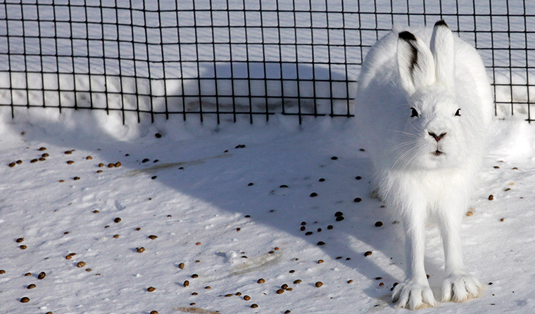 Tundra hare sits in an open-air enclosure at the Royev Ruchey zoo