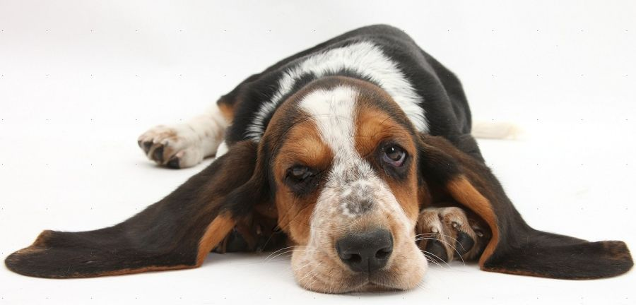 Basset Hound pup, Betty, 9 weeks old, with chin on floor and ears out