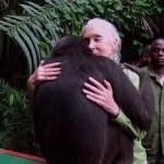 """Jane Goodall și Wounda: cum spune un cimpanzeu """"mulțumesc"""" – VIDEO"""