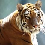 Tigru Sudchinezesc