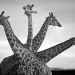 Animale sălbatice în Africa, de David Gulden