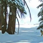 Vulpea roșie care apare la Yosemite o dată la un secol