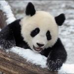 Prima zăpadă pentru un ursuleț Panda – VIDEO