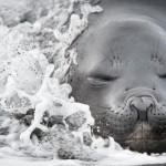 Cum arată relaxarea la o focă elefant