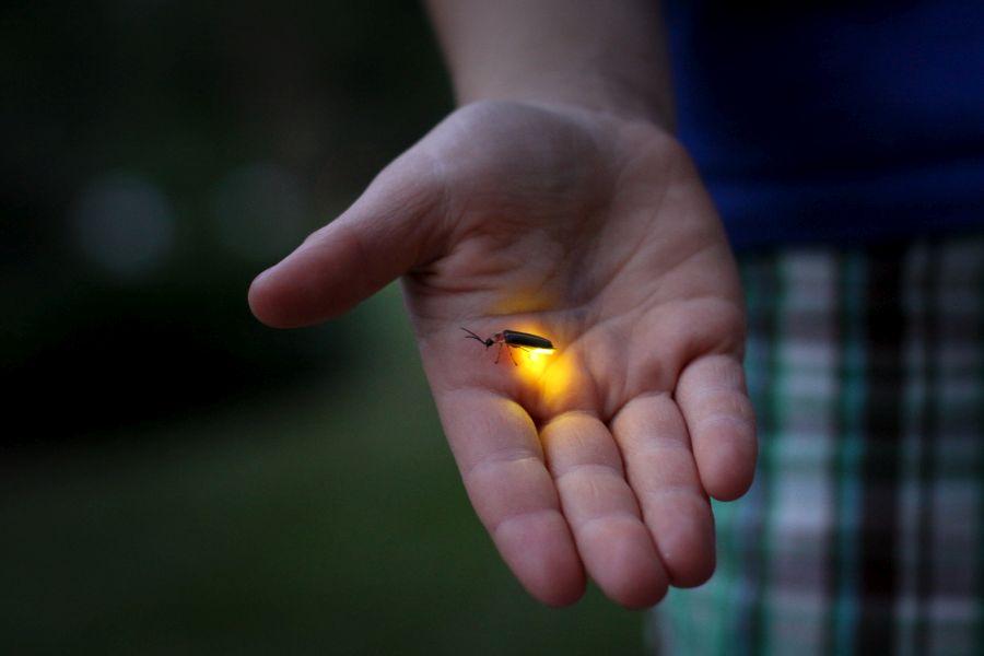 licurici