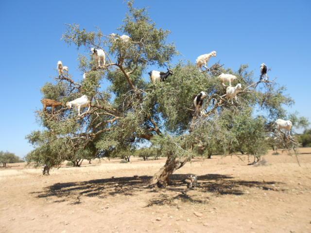 Capre in pom, Maroc, 2014