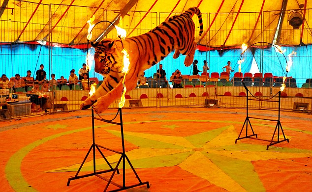 PINGGUO, CHINA - APRIL 14: A tiger jumps through a fire ring during a circus show by a touring troupe from Anhui province in Pingguo county on April 14, 2012 in Guangxi Zhuang, China. PHOTOGRAPH BY Feature China / Barcroft Media UK Office, London. T +44 845 370 2233 W www.barcroftmedia.com USA Office, New York City. T +1 212 796 2458 W www.barcroftusa.com Indian Office, Delhi. T +91 11 4053 2429 W www.barcroftindia.com
