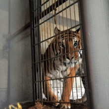 CIRCUS TIGERS TRANSFER FROM GERMANY