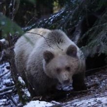 Hargitha Bear Cubs 2013
